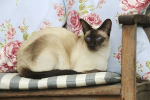 JD-21455 CAT. Chocolate point siamese cat sitting on a garden chair
