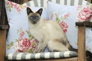 JD-21456 CAT. Blue point siamese cat sitting on a garden chair