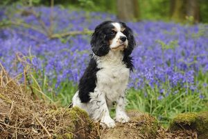 JD-21463 DOG. Cavalier king charles spaniel standing in bluebells
