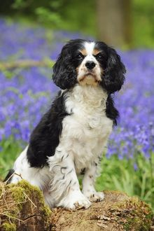 JD-21464 DOG. Cavalier king charles spaniel standing in bluebells