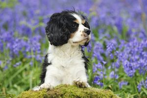 JD-21465 DOG. Cavalier king charles spaniel standing in bluebells