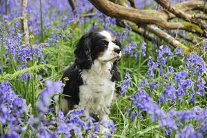 JD-21466 DOG. Cavalier king charles spaniel sitting in bluebells