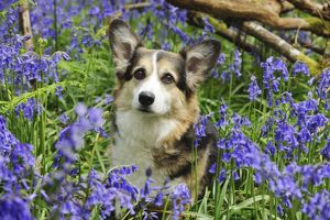 JD-21467 DOG. Pembroke welsh corgi sitting in bluebells