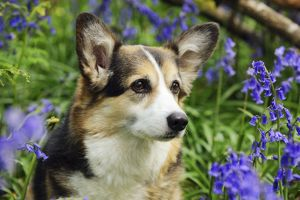 JD-21468 DOG. Pembroke welsh corgi sitting in bluebells