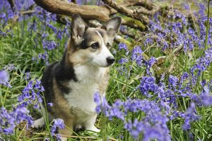 JD-21469 DOG. Pembroke welsh corgi sitting in bluebells