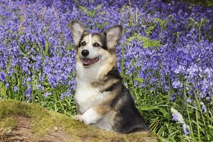 JD-21470 DOG. Pembroke welsh corgi sitting in bluebells