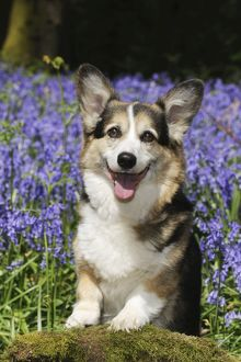 JD-21471-C DOG. Pembroke welsh corgi standing in bluebells
