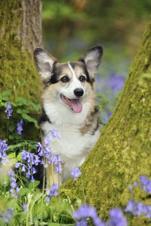 JD-21472 DOG. Pembroke welsh corgi sitting between tree trunks