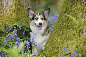 JD-21473 DOG. Pembroke welsh corgi sitting between tree trunks