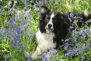 JD-21488 DOG. Border collie lying in bluebells