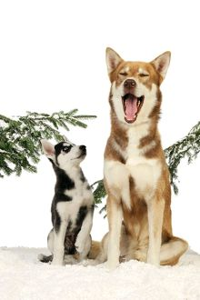 JD-21532 DOG. Siberian husky puppy looking up at siberian husky yawning sitting in snow