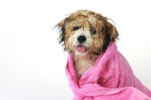 JD-21579 DOG. Teddy Bear dog (wet ) wrapped in a towel