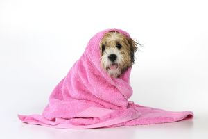 JD-21580 DOG. Teddy Bear dog (wet ) wrapped in a towel