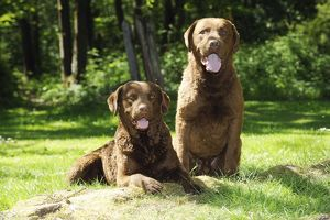 JD-21602 DOG. Chesapeake bay retriever laying next to chesapeake bay retriever sitting on tree root