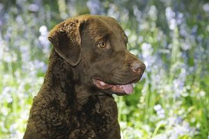 JD-21605 DOG. Chesapeake bay retriever in forget me nots (head shot)