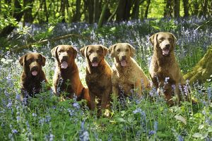 JD-21607 DOG. Chesapeake bay retrievers sitting in a row in forget me nots