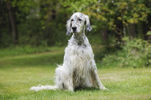 JD-21610 DOG. English setter sitting down