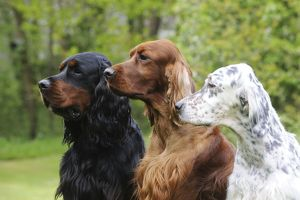 jd 21614 dog irish setter sitting gordon setter