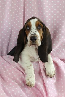 JD-21624 DOG. Basset hound puppy (10 weeks) sitting on pink blanket