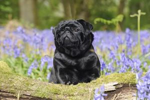 JD-21633 DOG. Pug in bluebells