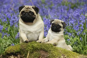 JD-21640 DOG. Pug standing next to pug puppy in bluebells