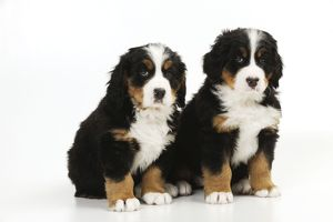 JD-21675 DOG. Bernese mountain puppies sitting together