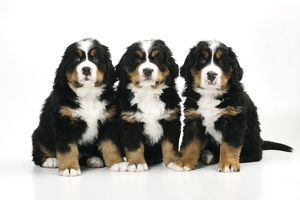 JD-21677 DOG. Bernese mountain puppies sitting in a row
