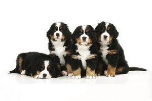 JD-21678 DOG. Bernese mountain puppy lying next to three bernese mountain puppies