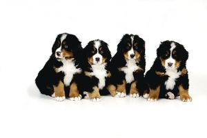 JD-21680 DOG. Bernese mountain puppies sitting in a row
