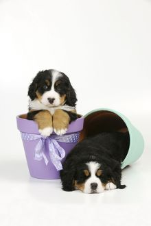JD-21682 DOG. Bernese mountain puppy sitting in flower pot next to bernese mountain