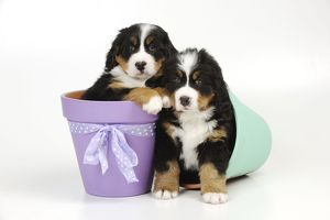 JD-21683 DOG. Bernese mountain puppies sitting in flower pots