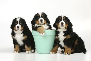 JD-21685 DOG. Bernese mountain puppies sitting on either side of bernese mountain