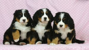 JD-21686 DOG. Bernese mountain puppies sitting in a row
