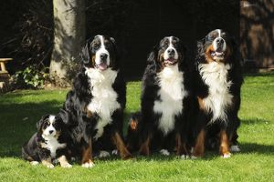 JD-21689 DOG. Bernese mountain puppy sitting next to three bernese mountain dogs sitting