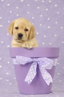 puppies/jd 21715 dog yellow labrador puppy sitting plant
