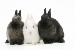 JD-21773 RABBIT. Albino rabbit sitting between two rabbits