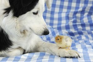 JD-21781 DOG. Chick sitting on border collies paw