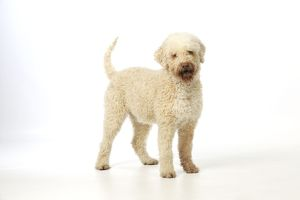 JD-21808 DOG. Lagotto romagnolo