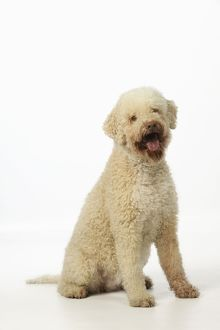 JD-21809 DOG. Lagotto romagnolo