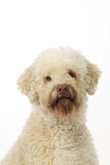 JD-21810 DOG. Lagotto romagnolo