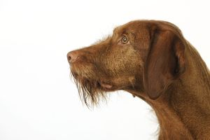 JD-21812 DOG. Hungarian wired haired Vizsla