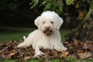 JD-21813 DOG. Lagotto romagnolo in leaves