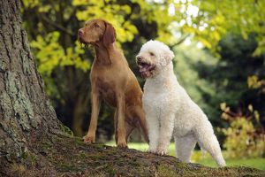 JD-21814 DOG. Lagotto Romagnolo and Hungarian Wire-haired Vizsla standing on tree root