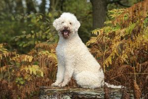 JD-21815 DOG. Lagotto romagnolo sitting on bench in ferns