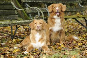 JD-21824 DOG. Nova scotia duck tolling retrievers in leaves