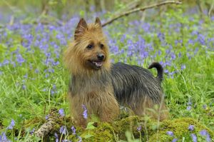 JD-21842 Dog. Australian Terrier in bluebells