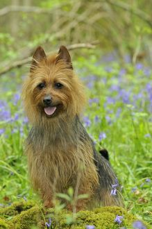 JD-21843 Dog. Australian Terrier in bluebells