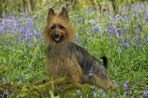 JD-21844 Dog. Australian Terrier in bluebells