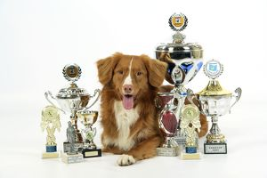 JD-21845 Dog. Nova Scotia Duck Tolling Retriever with cups