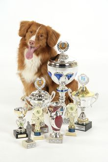 JD-21846 Dog. Nova Scotia Duck Tolling Retriever with cups